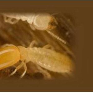 Termites_002
