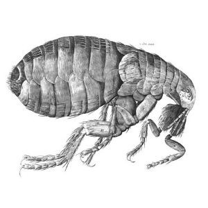 flea_11