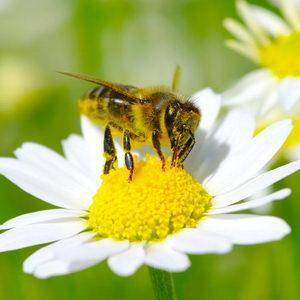 דבורת דבש